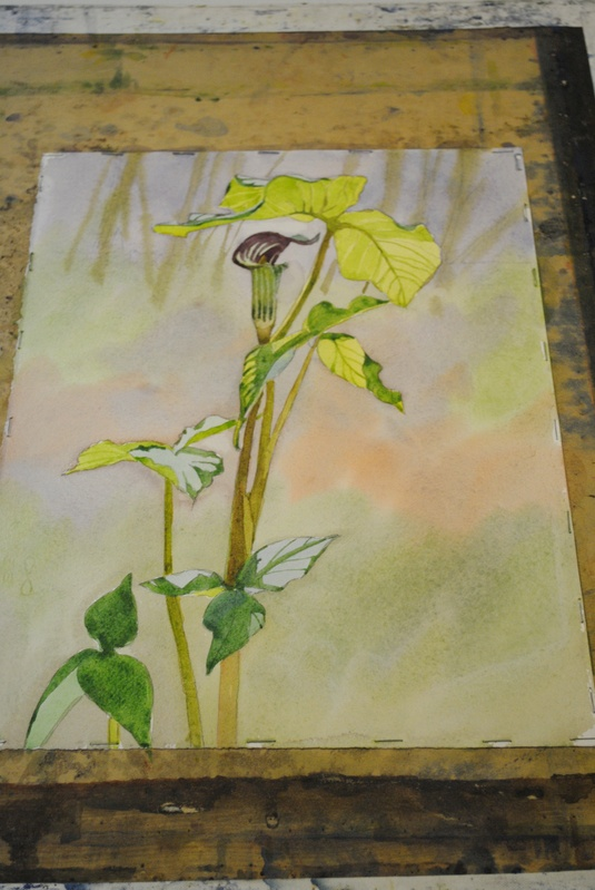 Jack in Pulpit- Student Watercolor